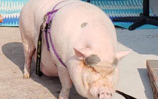 Large pig at Sturgis RV Park